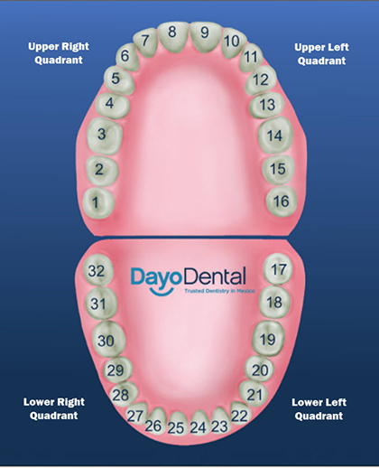 Teeth Numbers And Names Human Teeth Chart